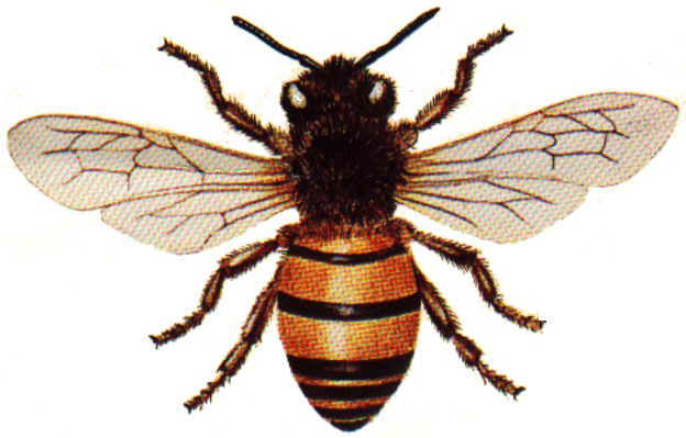 Picture of a honey bee with wings spread.